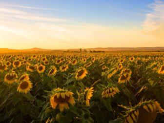 Sunflowers-at-sunset-Clifton
