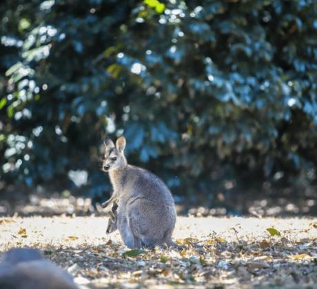 Wallaby-Bunyas