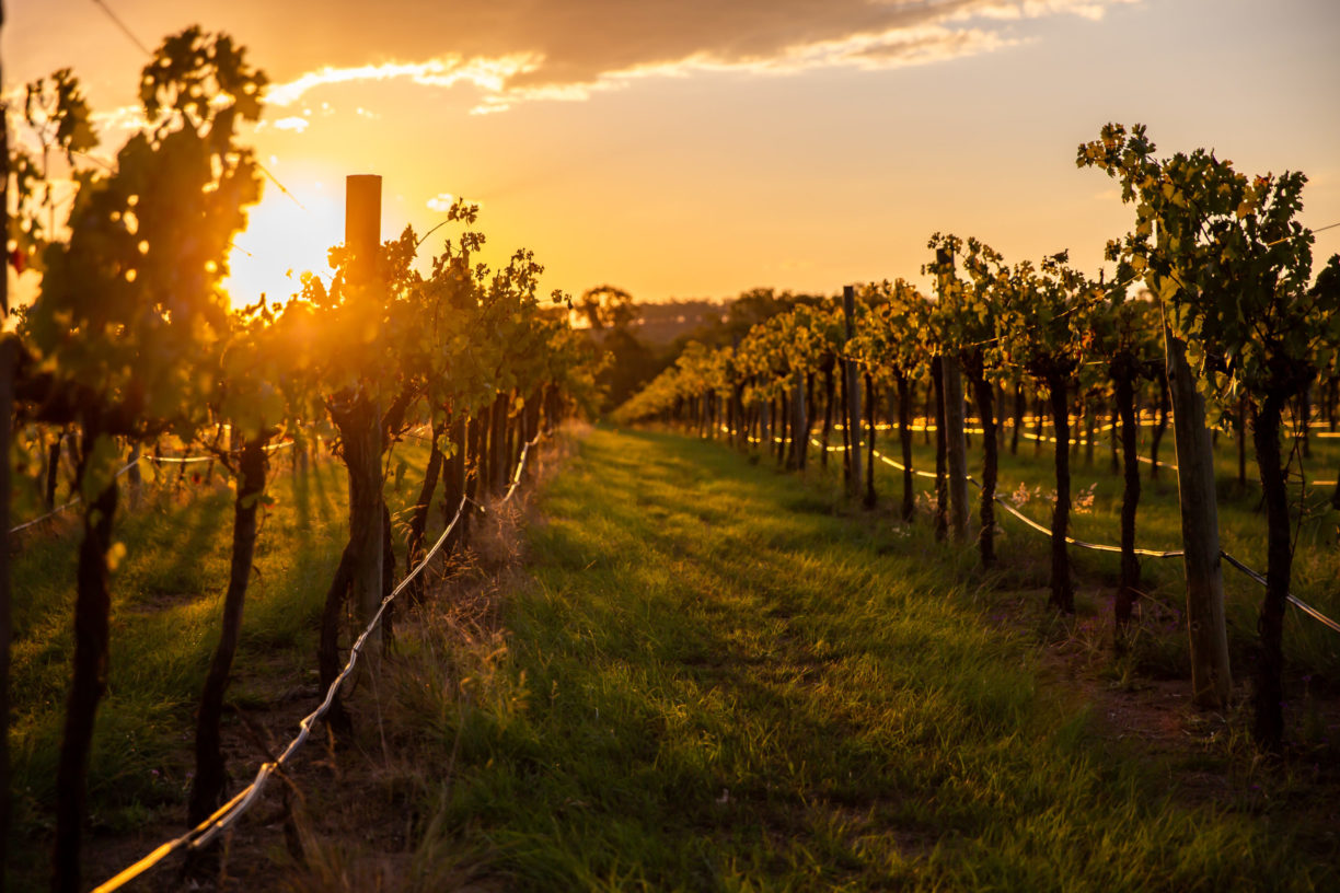 Vineyard-At-Sunset-Goodger